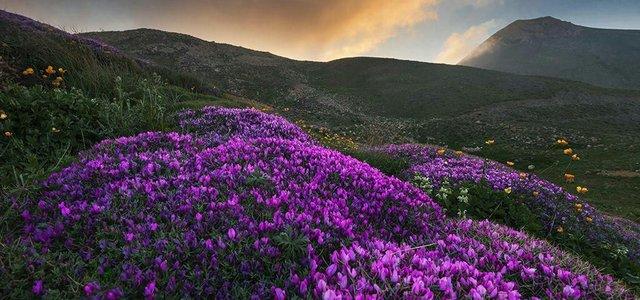 دشت گل گاوزبان در ییلاق جنت رودبار | Photo by : Masoud Moghbel