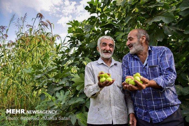 گلوگاه، مهد انجیر ایران