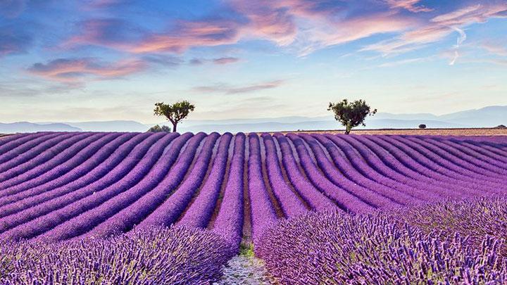 مزارع بنفش پروانس از جاهای دیدنی فرانسه